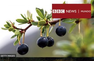 Las maravillosas propiedades de los frutos patagónicos que la ciencia recién ahora está descubriendo