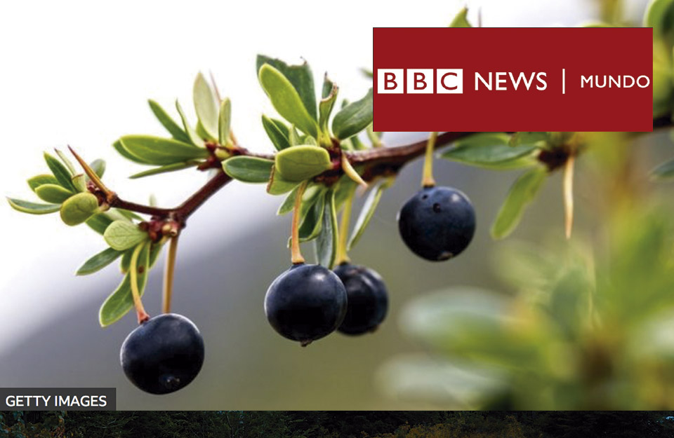 Las maravillosas propiedades de los frutos patagónicos que la ciencia recién ahora está descubriendo | Marca Chile