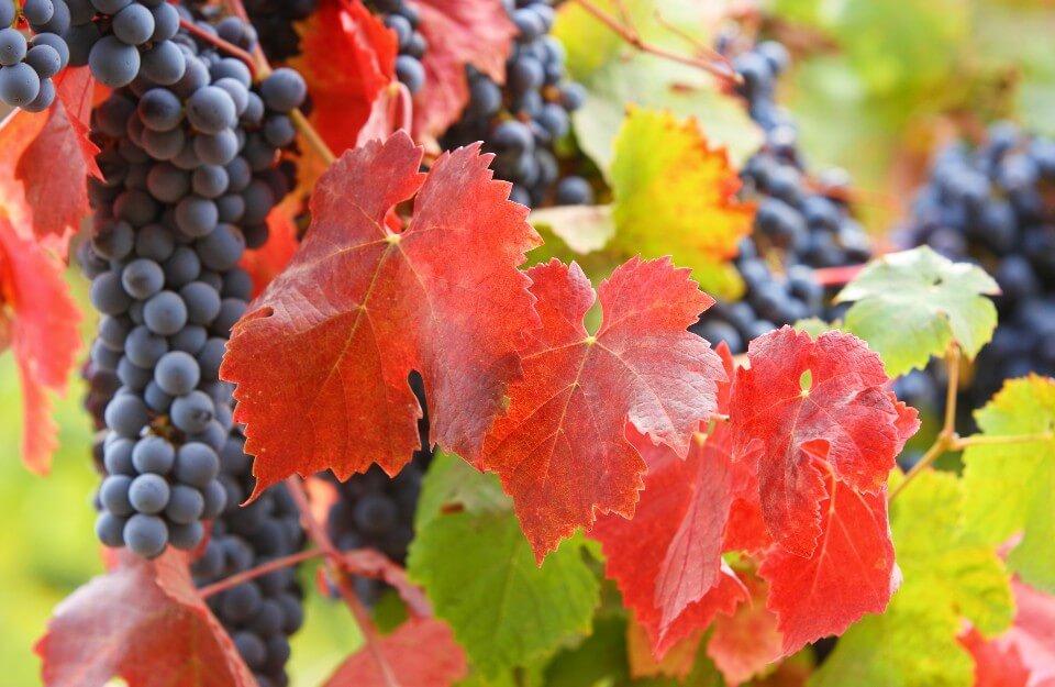 Carménère: un vino chileno único | Marca Chile