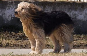 Two Chilean dog breeds that you must know