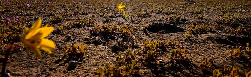 El desierto de Atacama estalla de color en una rara floración de flores silvestres