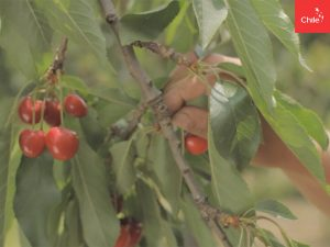 Cosecha de cerezas | Toolkit | Marca Chile