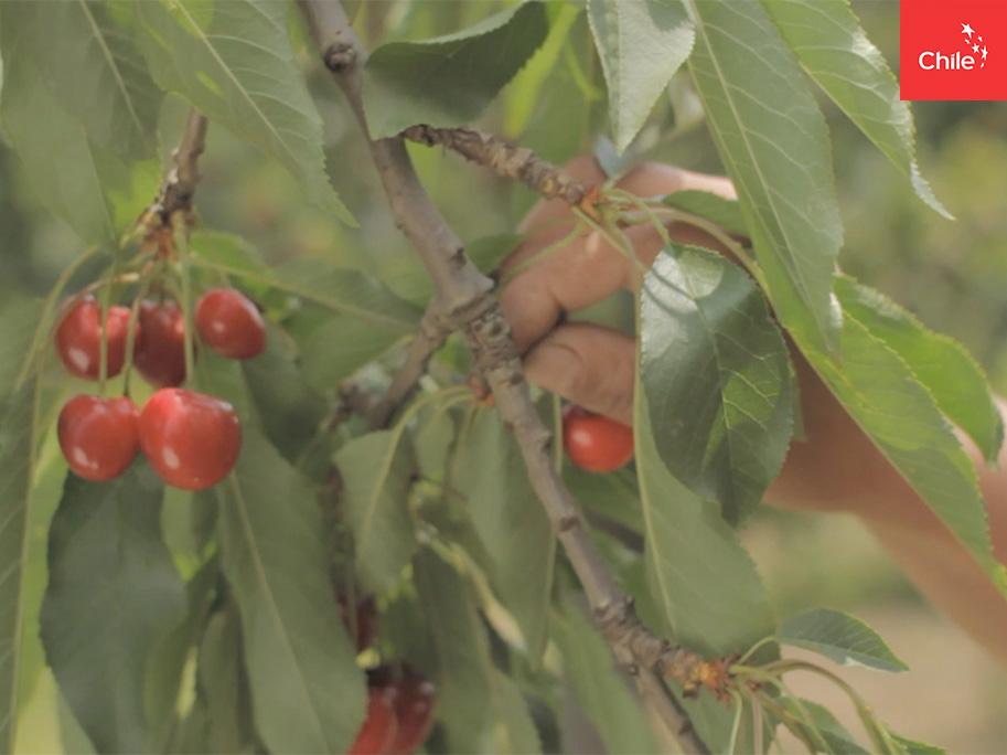 Cosecha de cerezas | Marca Chile | Toolkit