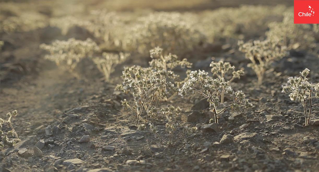 Florecimiento en el desierto | Marca Chile | Toolkit