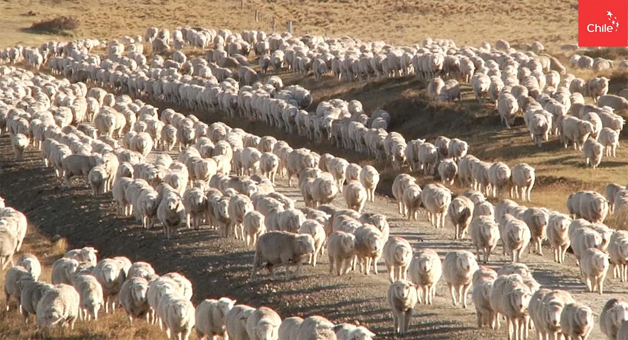 grupo de oveja | Marca Chile | Toolkit
