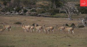 Guanacos en Patagonia | Toolkit | Marca Chile