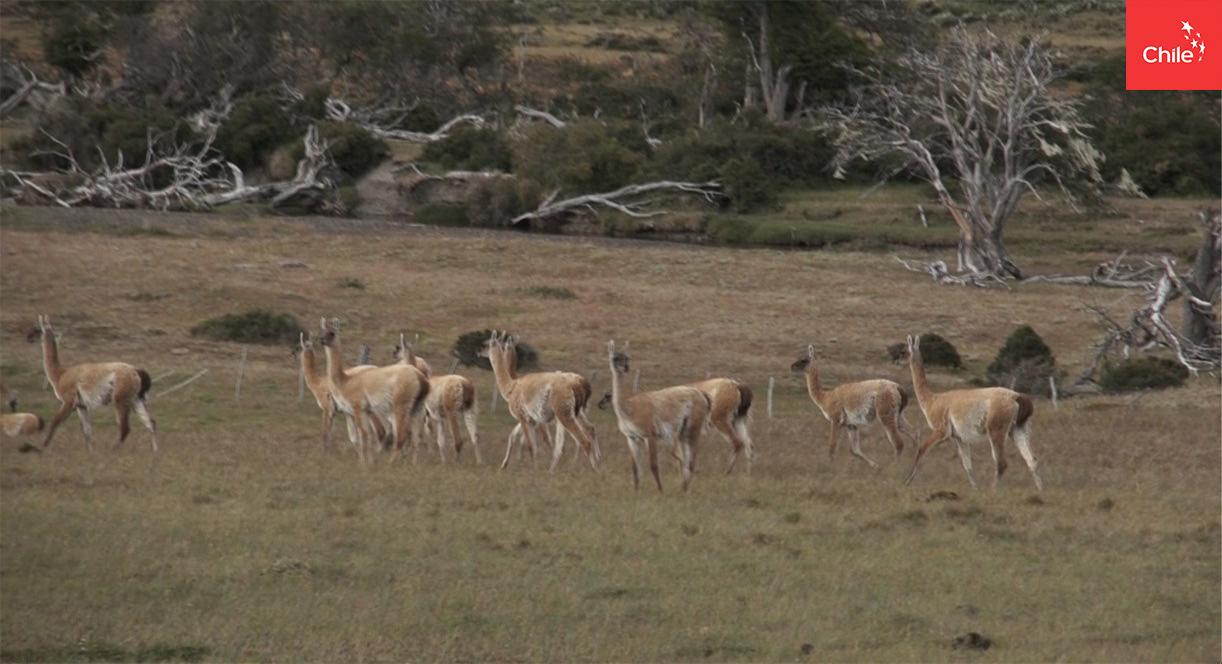 Guanacos en Patagonia | Marca Chile | Toolkit