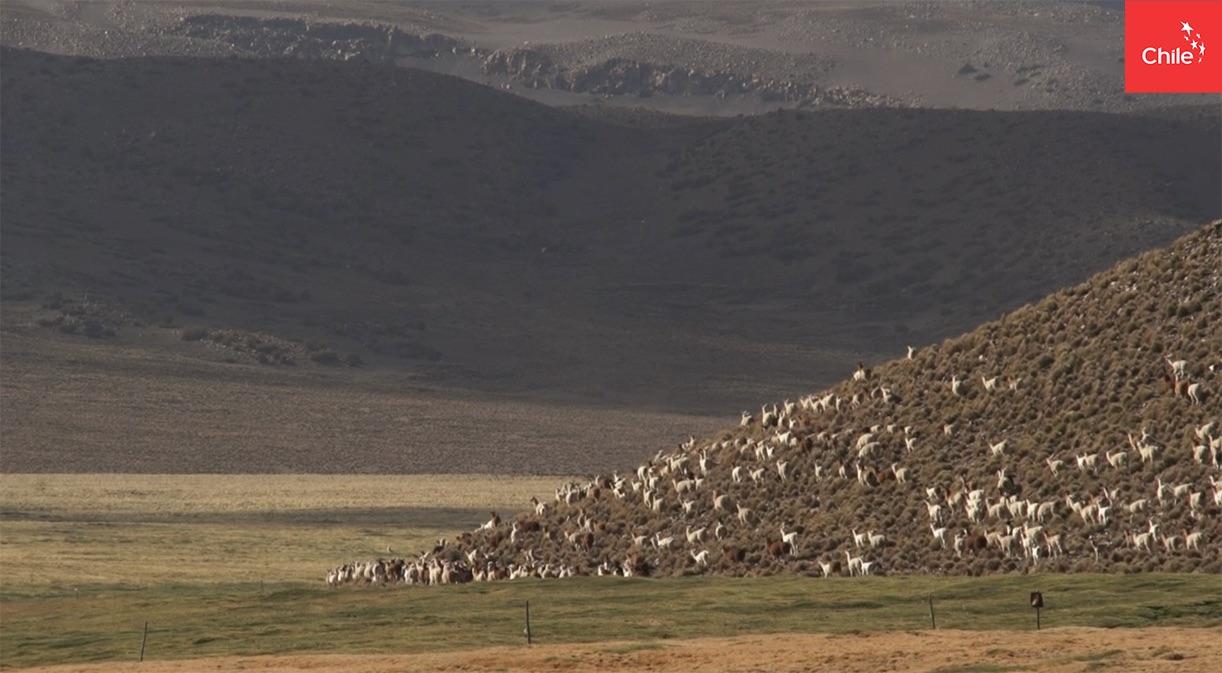 Llamas pastando en bofedales del Altiplano | Marca Chile | Toolkit