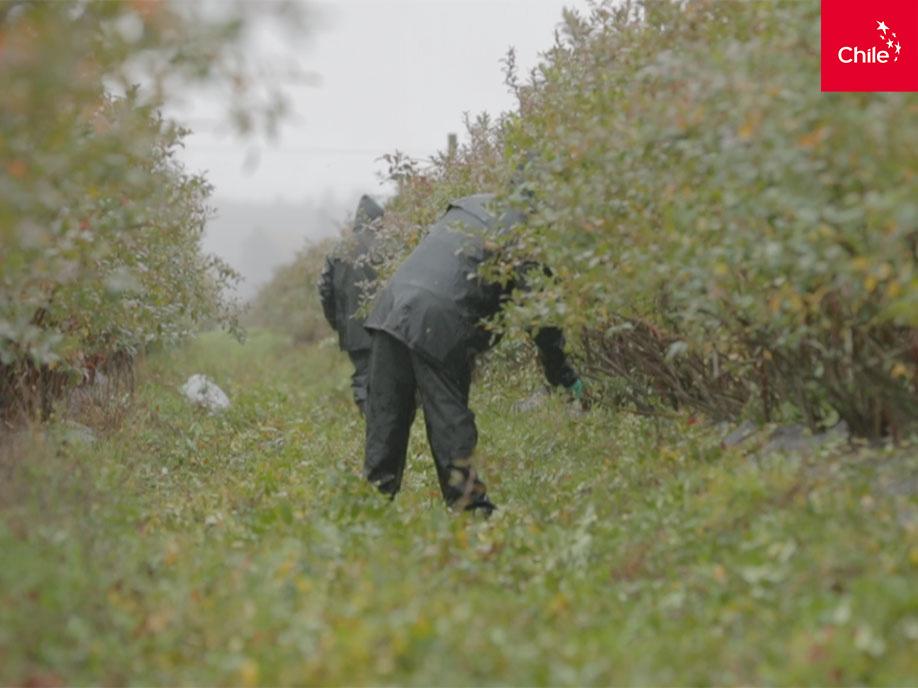 Trabajo en cultivos | Marca Chile | Toolkit