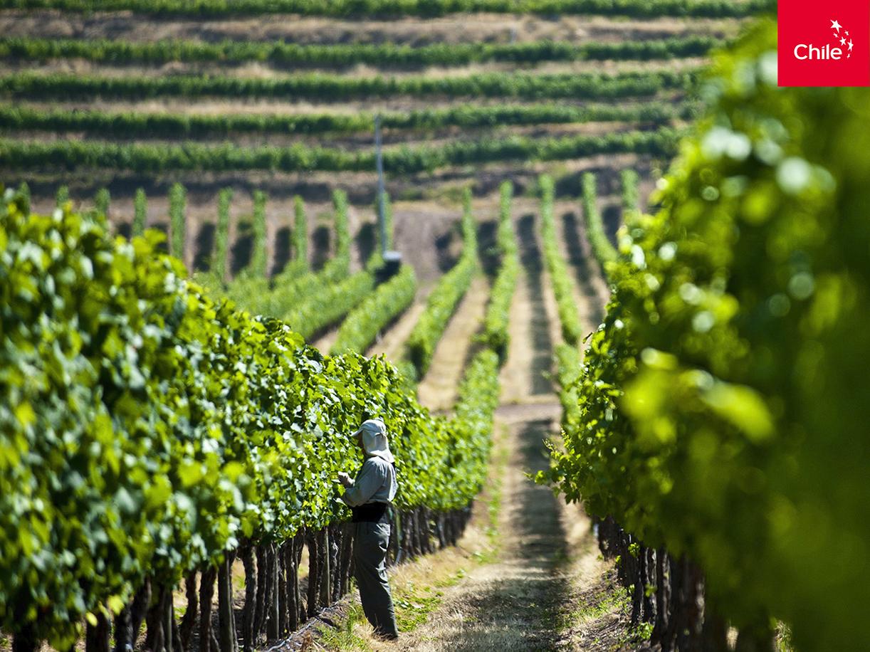Trabajador en viñedo | Marca Chile | Toolkit